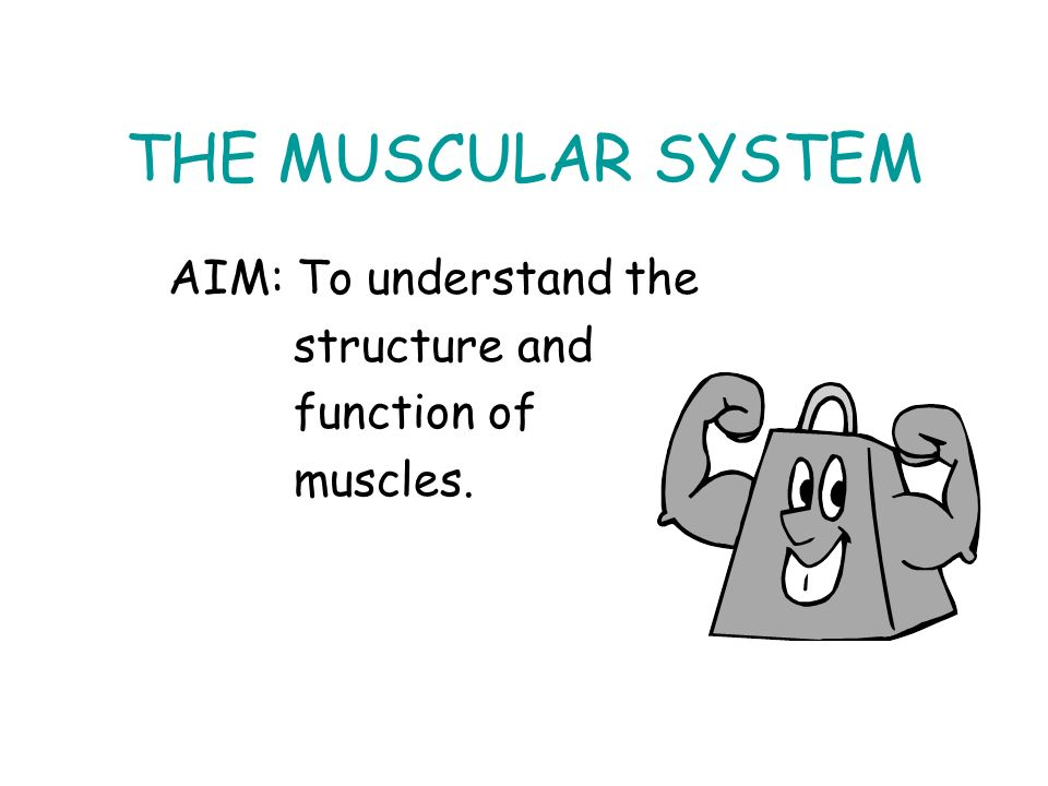 THE MUSCULAR SYSTEM AIM: To understand the structure and function of ...
