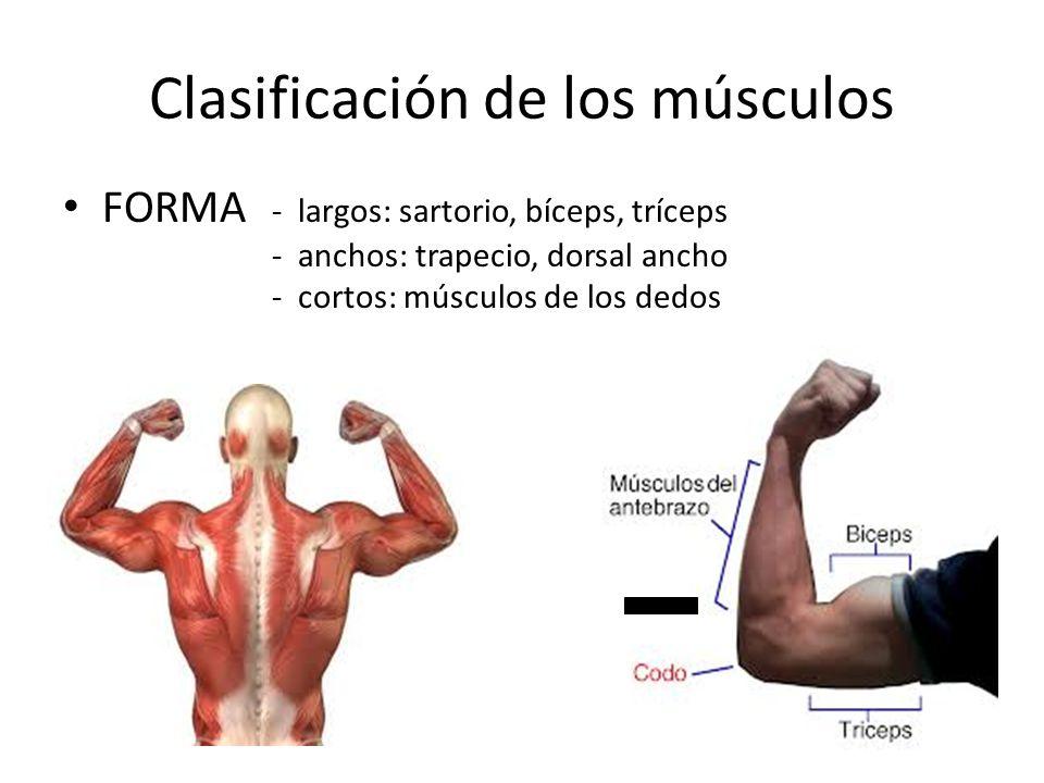 Medicina y deporte. FORMA - largos: sartorio, bíceps, tríceps ...