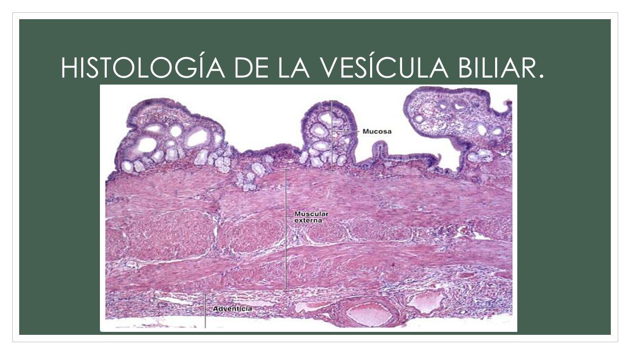 HISTOLOGÍA DE LA VESÍCULA BILIAR.. Epitelio cilíndrico simple ...
