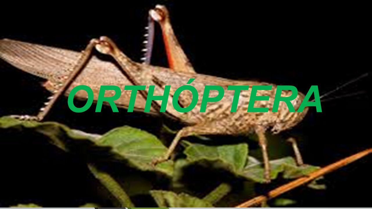 ORTHÓPTERA. Existen alrededor de 13,000 de especies descritas a ...