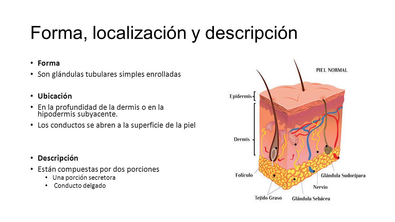 GLÁNDULAS SUDORÍPARAS ECRINAS Abundan en la totalidad de la piel ...