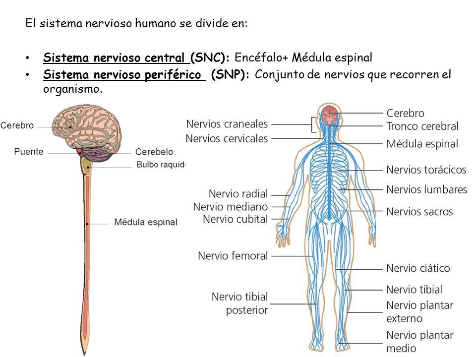 Coordinación humana II. El sistema nervioso Es un conjunto de ...