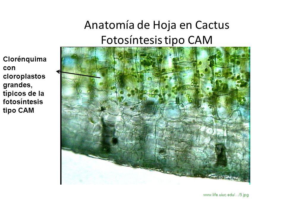 LA HOJA Presentación preparada por: Ing. Agr. M.Sc. Myrna Herrera ...