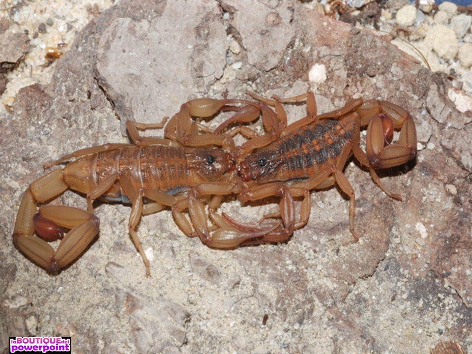 Los escorpiones o alacranes (Scorpiones o Scorpionida) son un orden ...