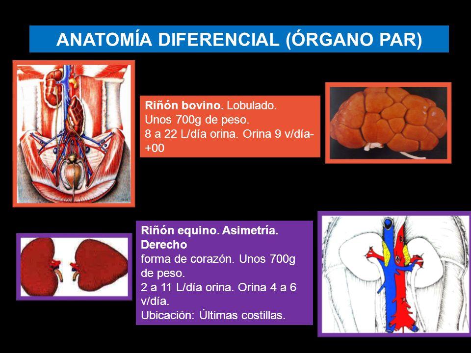 SISTEMA RENAL El sistema renal es el principal sistema de excreción ...