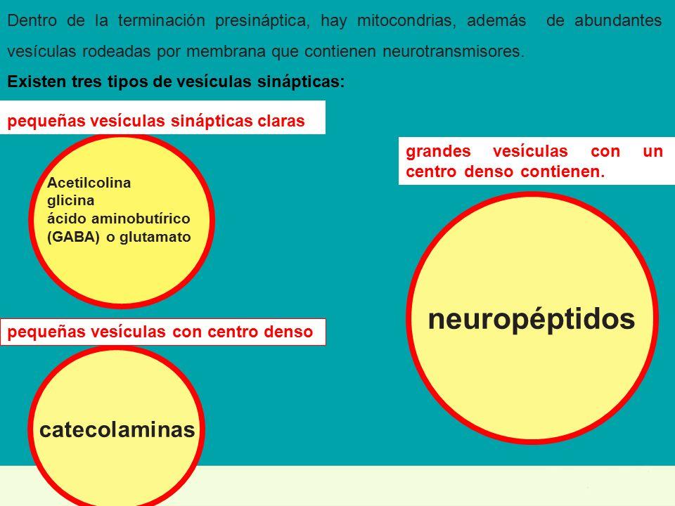 TRANSMISIÓN SINÁPTICA: ANATOMÍA FUNCIONAL La estructura anatómica de ...