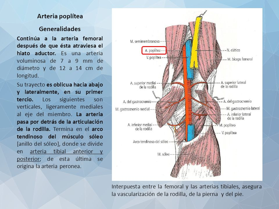 ARTERIA POPLÍTEA. Arteria poplítea Generalidades Continúa a la ...