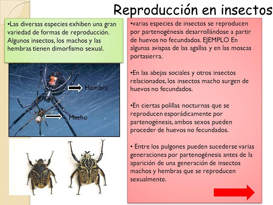 Reproduccion asexual en invertebrados partenogenesis