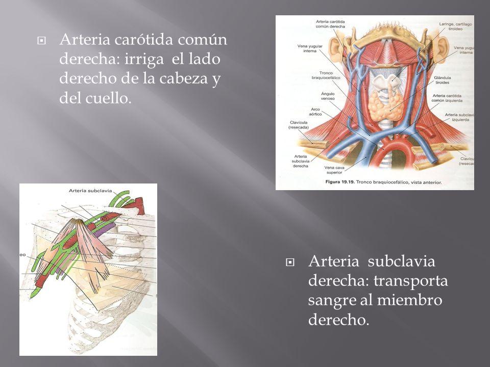 De el arco aórtico el primer vaso que se ramifica es la arteria ...