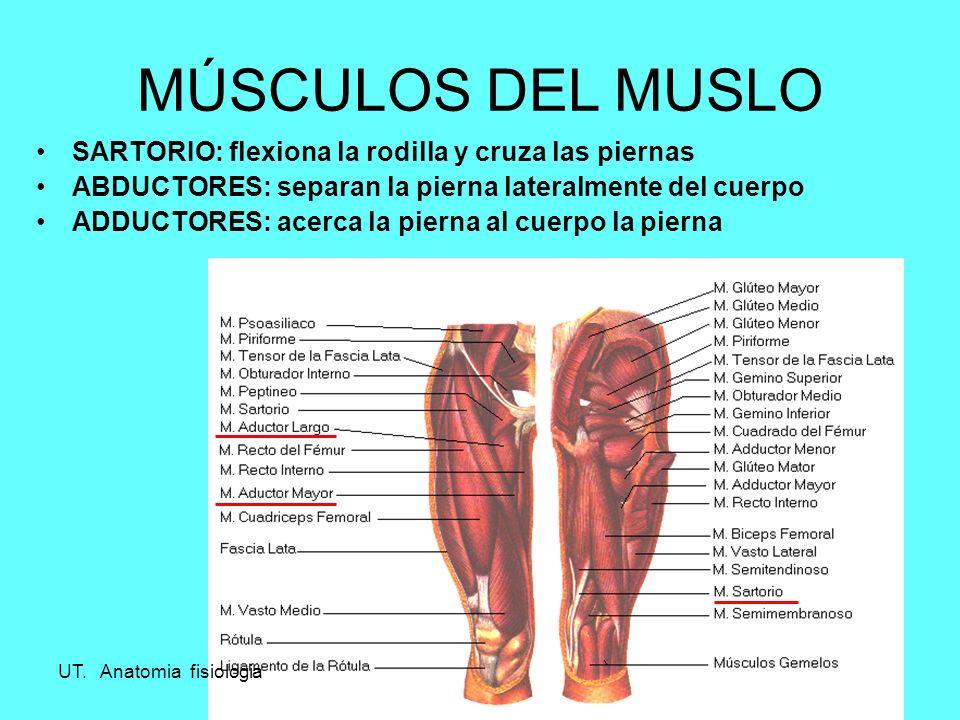 MUSCULOS DE MIEMBRO INFERIOR. A.P.Z.2 MÚSCULOS DE LAS EXTREMIDADES ...