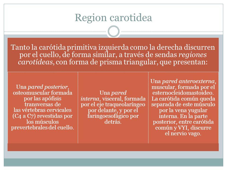 Carótida primitiva y sus bifurcaciones Anatomía Practica Ana ...