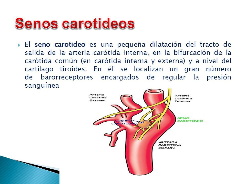 UAp: Anatomia II LICENCIATURA MEDICO CIRUJANO DR. FAUSTO SOLIS ...