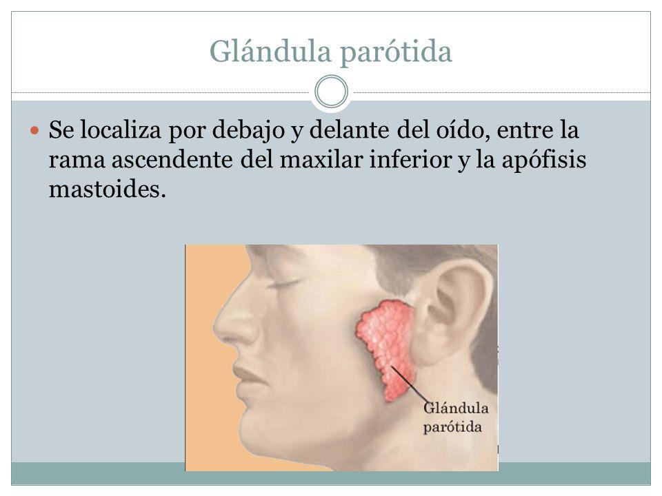 Glándulas salivales principales Para humedecer la membrana mucosa de ...