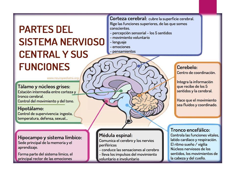 """EL SISTEMA NERVIOSO CENTRAL"""". DEFINICIÓN: El Sistema Nervioso, es el ..."""