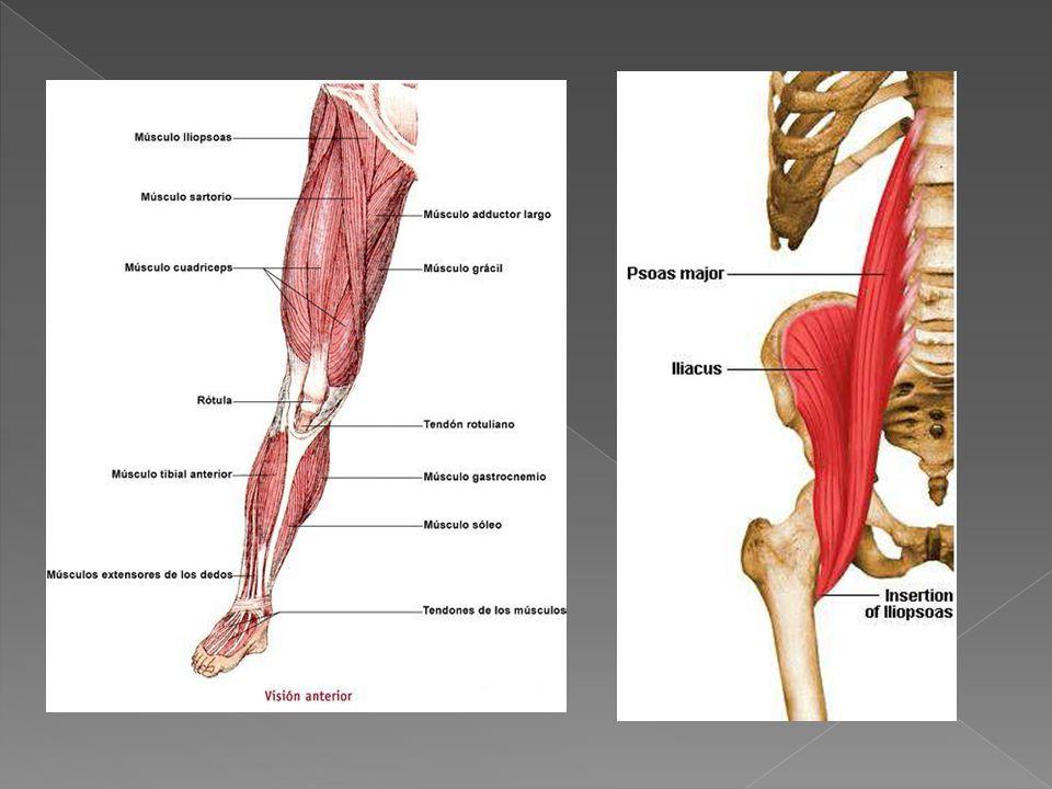 músculos de la parte delantera del muslo
