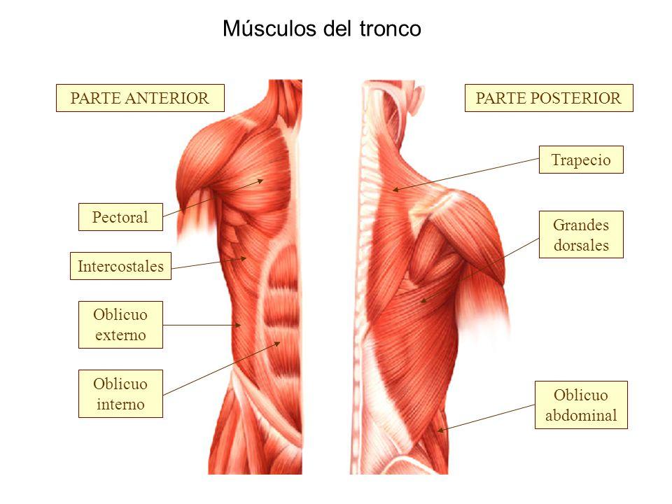 Juego De Músculos Posteriores Del Tronco — Sceneups