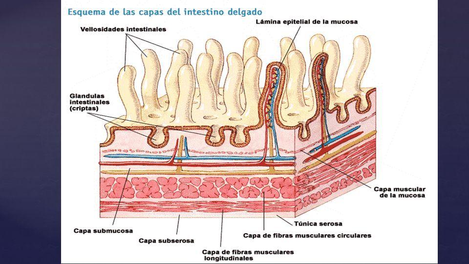 Hermosa Anatomía Macroscópica Del Intestino Grueso Embellecimiento ...