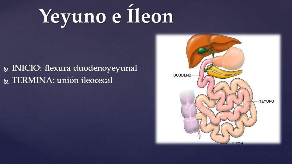 Intestino delgado. Anatomía macroscópica Estructura tubular Posee ...