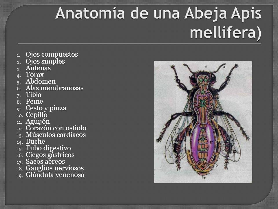 APICULTURA Etimológicamente la palabra proviene del latín Apis ...