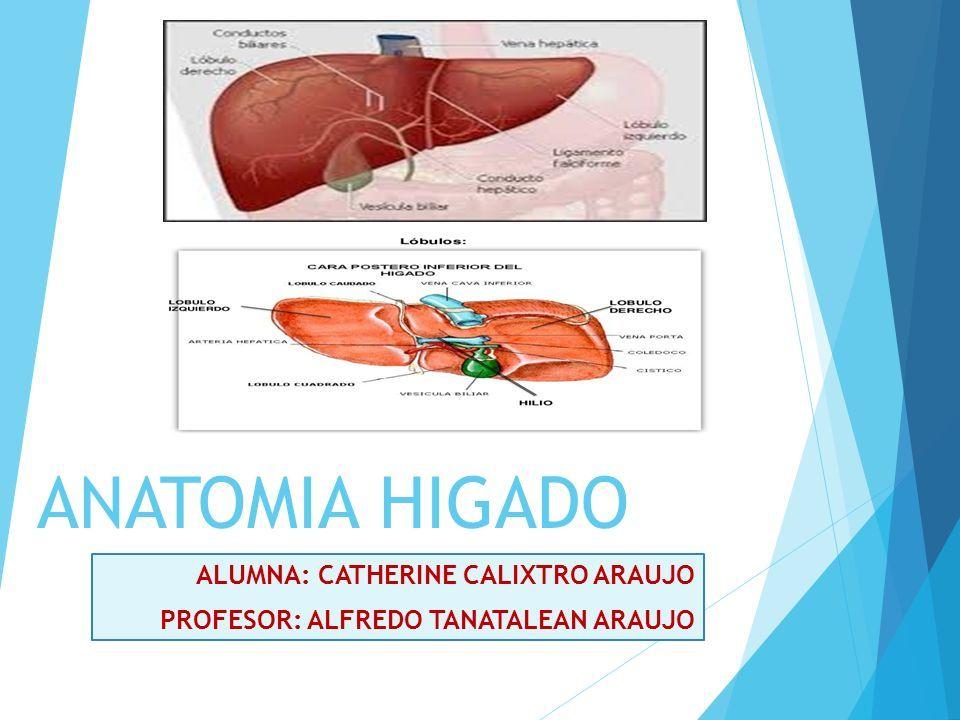 ANATOMIA HIGADO ALUMNA: CATHERINE CALIXTRO ARAUJO PROFESOR: ALFREDO ...