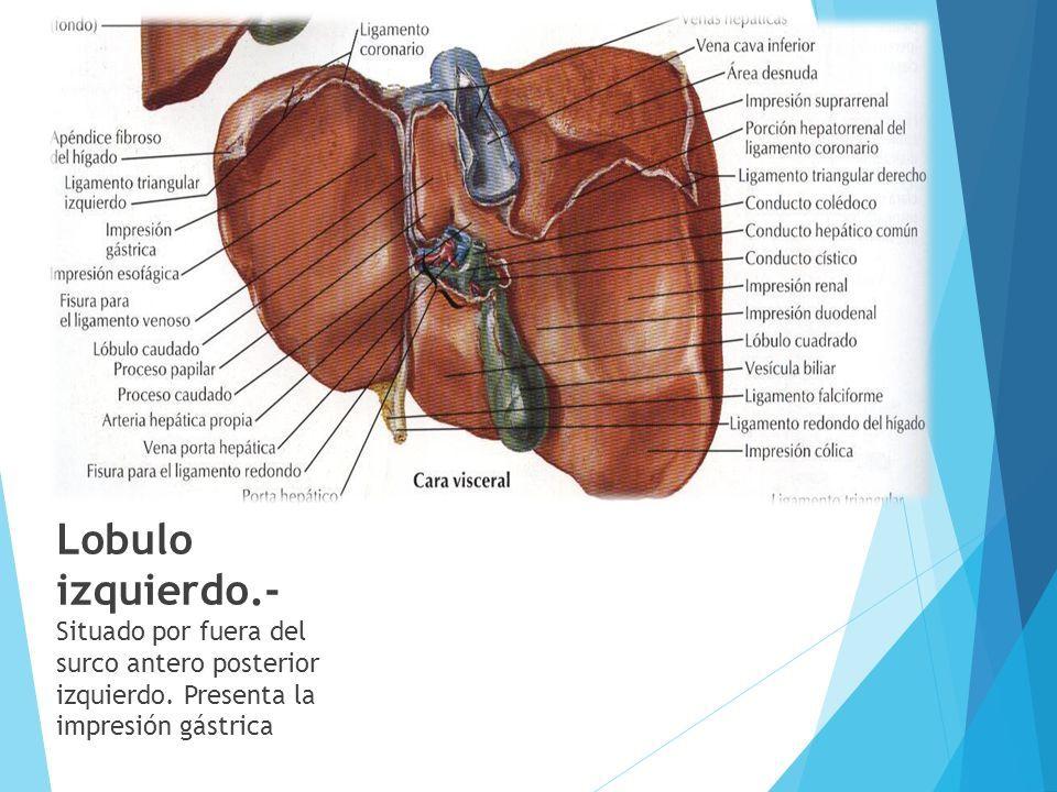 Vistoso Hígado Ligamentos Anatomía Cresta - Imágenes de Anatomía ...