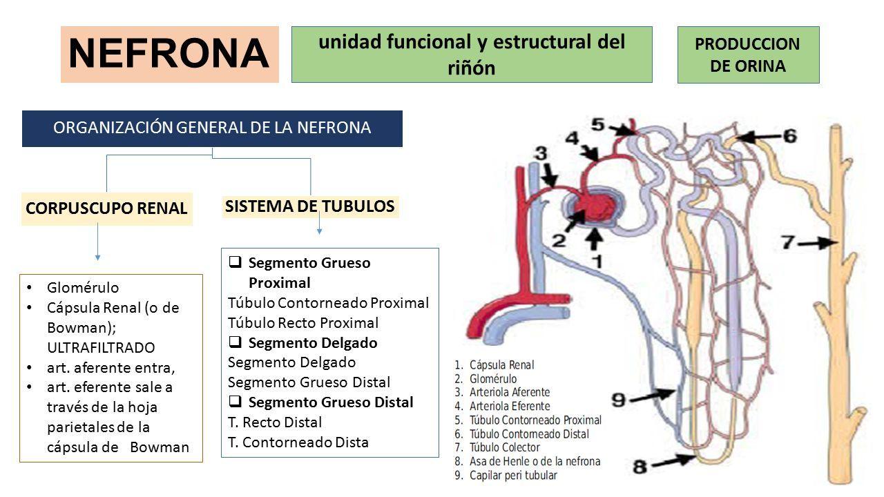 HISTOLOGÍA DEL APARATO URINARIO Esta compuesto por  Dos riñones ...
