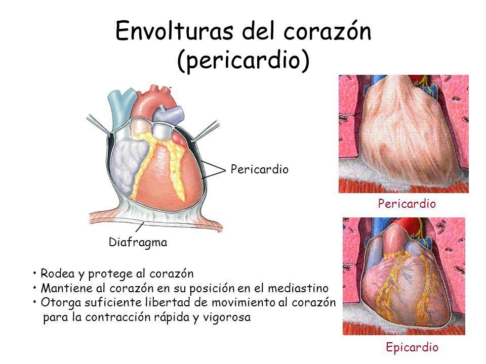 ANATOMIA – FISIOLOGIA CARDIOVASCULAR Dra. Contreras Zarza Mercedes ...