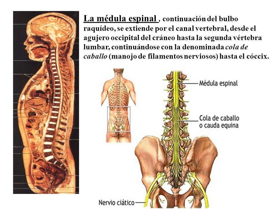 Introducción a la Anatomía 1º Año - Anatomía Prof. Ana Di Iacovo ...