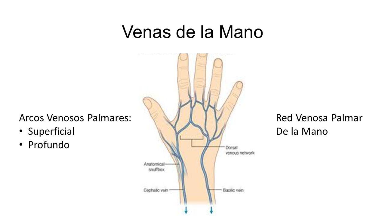 Arterias y Venas. Arterias de la Mano A. Ulnar Anterior Arco Palmar ...