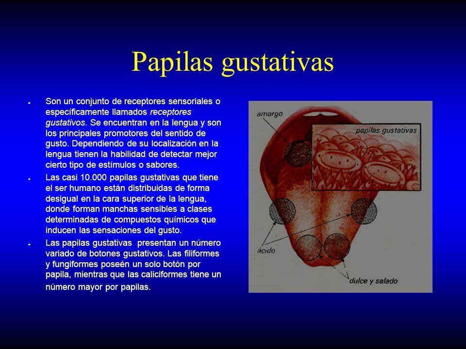 Anatomia de los órganos de los sentidos MC. Victor Linares Teràn ...