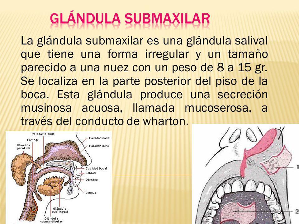 ANATOMIA HUMANA ANATOMIA DE LA BOCA,LENGUA Y GLANDULAS SALIVAES ...