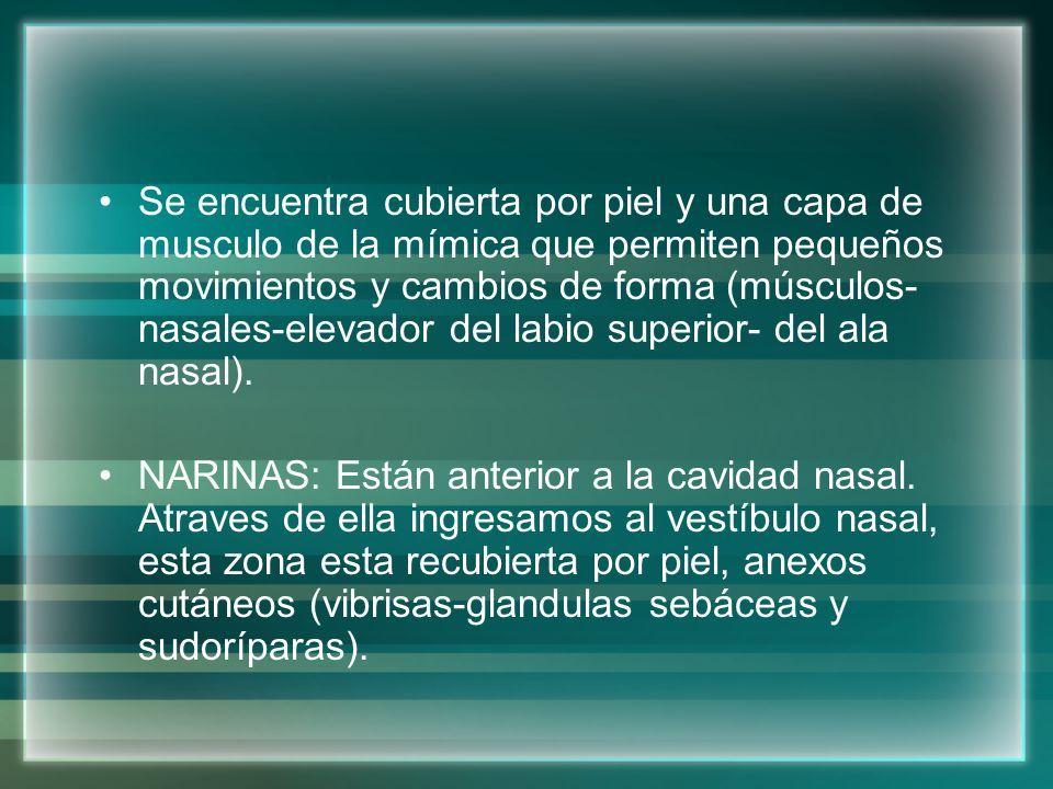 Anatomía de nariz Miguel Molina Carlos Emith Peralta Vega Ximena ...