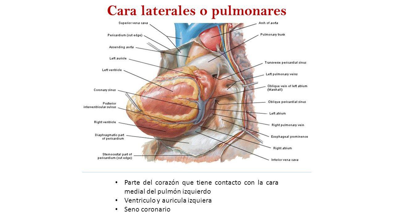 Configuración externa del corazón Carolina Becerra Ante. - ppt descargar