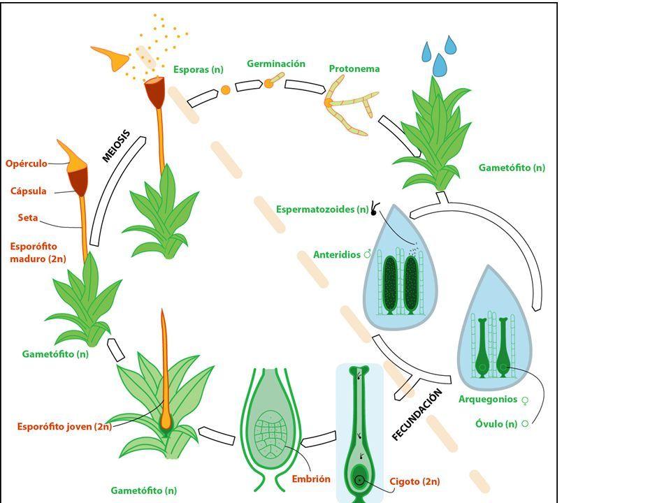 Reproduccion de helechos asexual spores