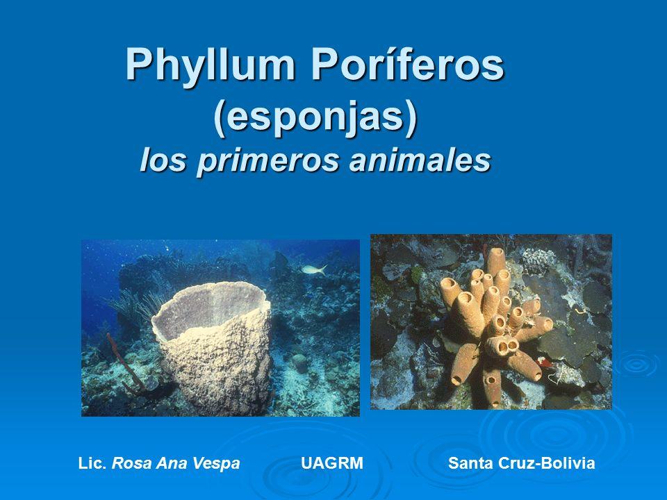 Phyllum Poríferos (esponjas) los primeros animales Lic. Rosa Ana ...
