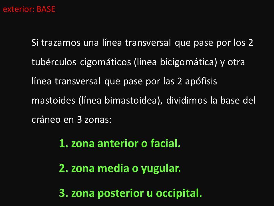 ANATOMÍA DESCRIPTIVA DE LA CABEZA ÓSEA: estudio de los huesos del ...