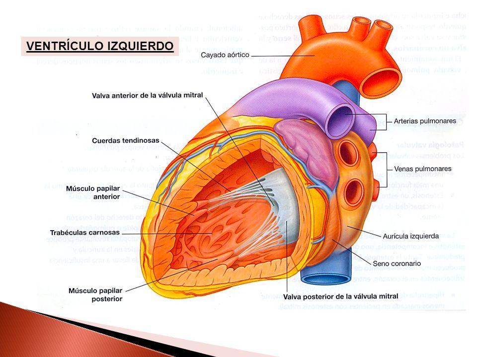 CORAZÓN – 2 ESTRUCTURA INTERNA Mg. Luis Vera Guerra Cirujano ...