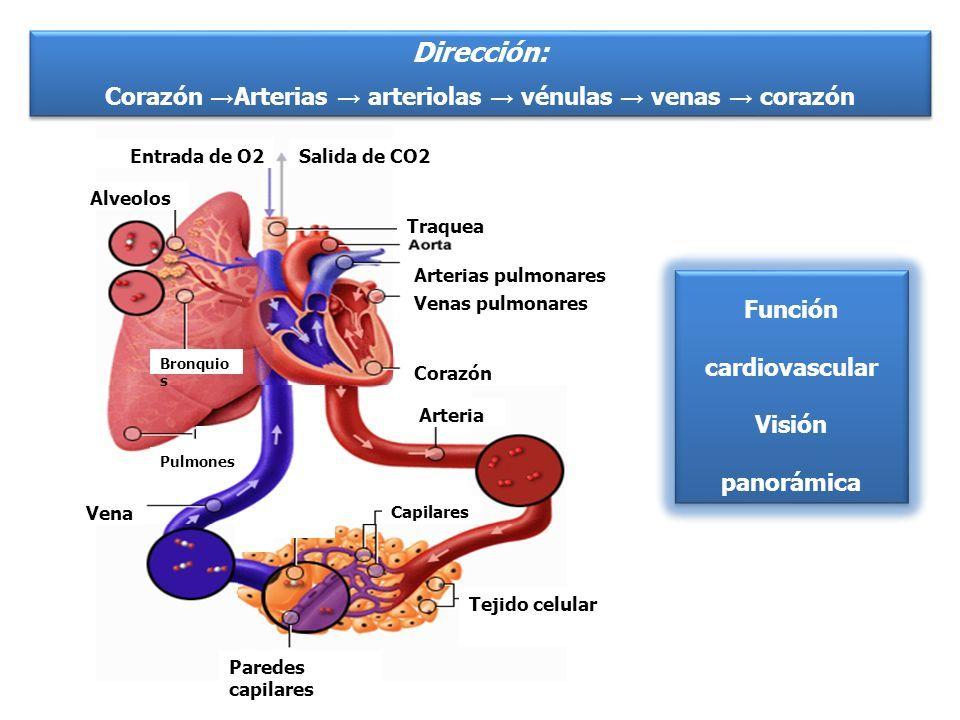 arterias y venas y capilares