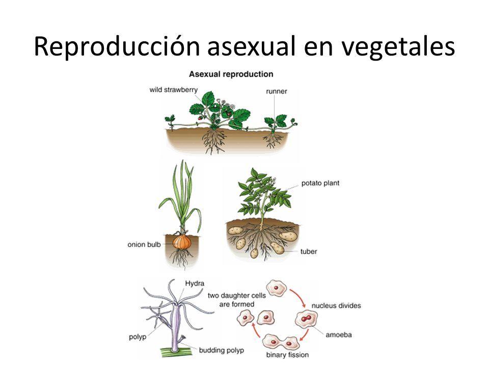 Reproduccion asexual de los hongos son