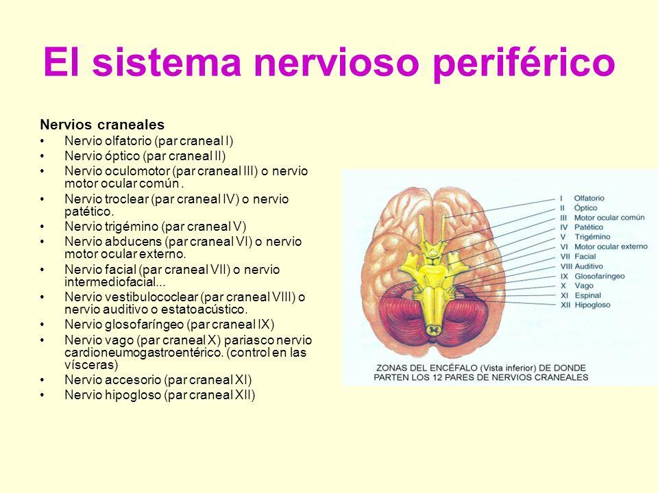 El sistema nervioso central: El encéfalo y la médula espinal. - ppt ...