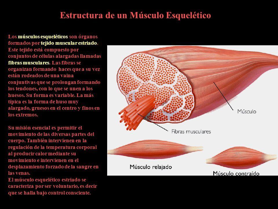 Sistema Muscular Autor: Alejandro Fatouh. El cuerpo humano es una ...