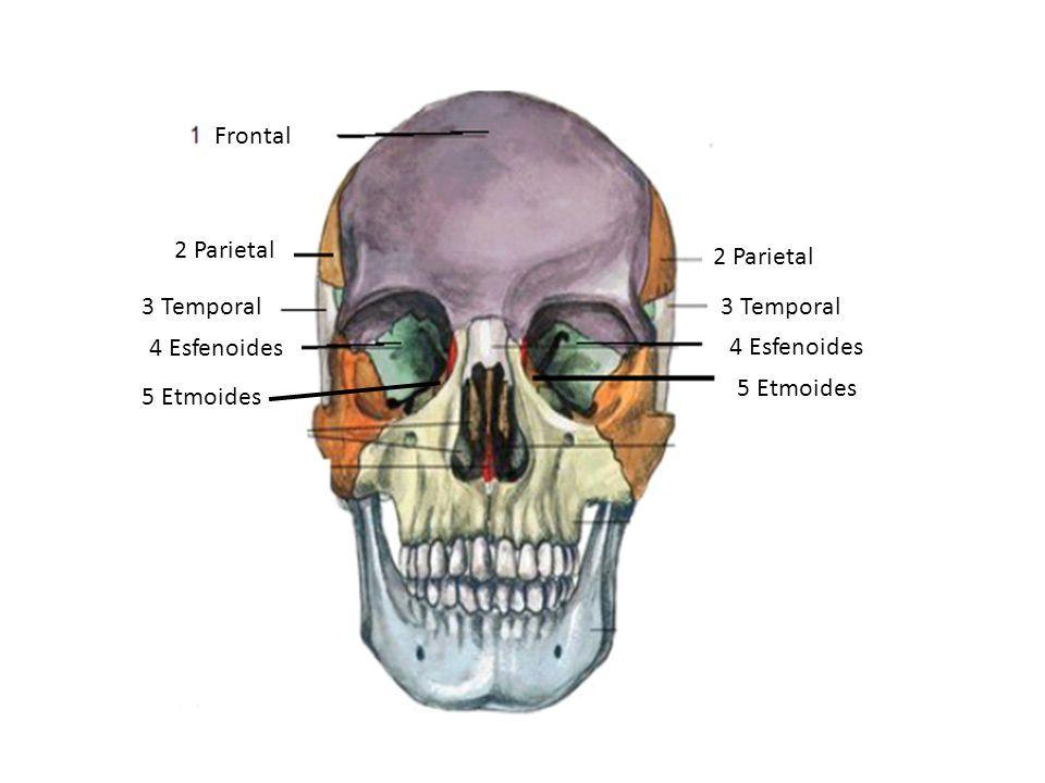 1 Hueso parietal 2 Hueso frontal 3 Hueso occipital 3 Hueso temporal ...