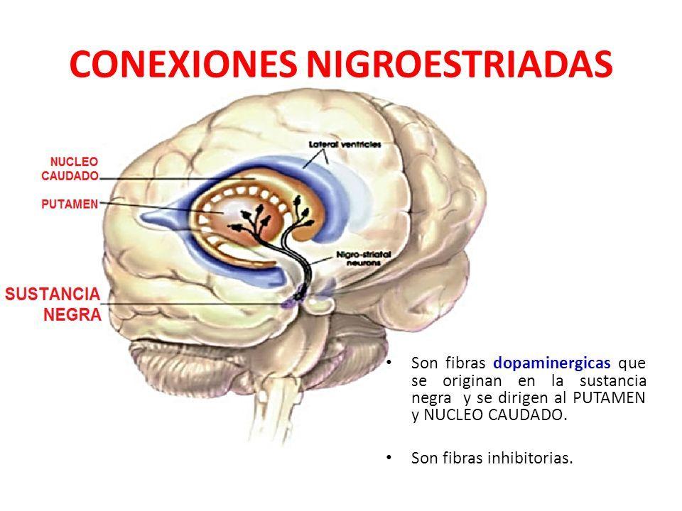 CONEXIONES DEL NEOESTRIADO AFERENTES: a.Fibras Cortico-estriadas. b ...
