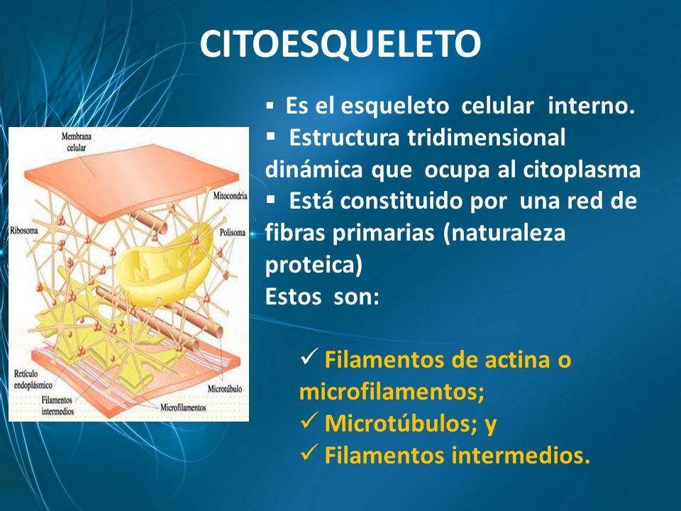 Citoesqueleto Es El Esqueleto Celular Interno