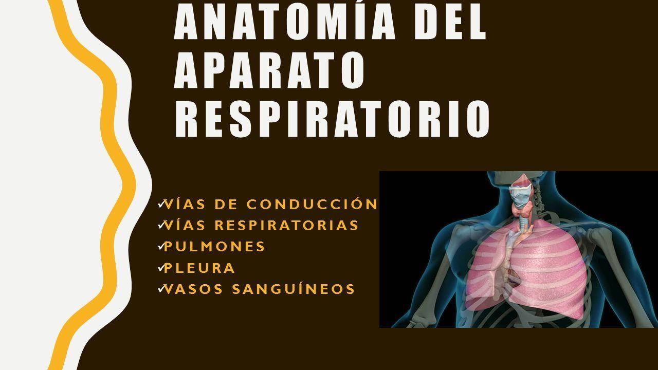 APARATO RESPIRATORIO. ANATOMÍA DEL APARATO RESPIRATORIO VÍAS DE ...
