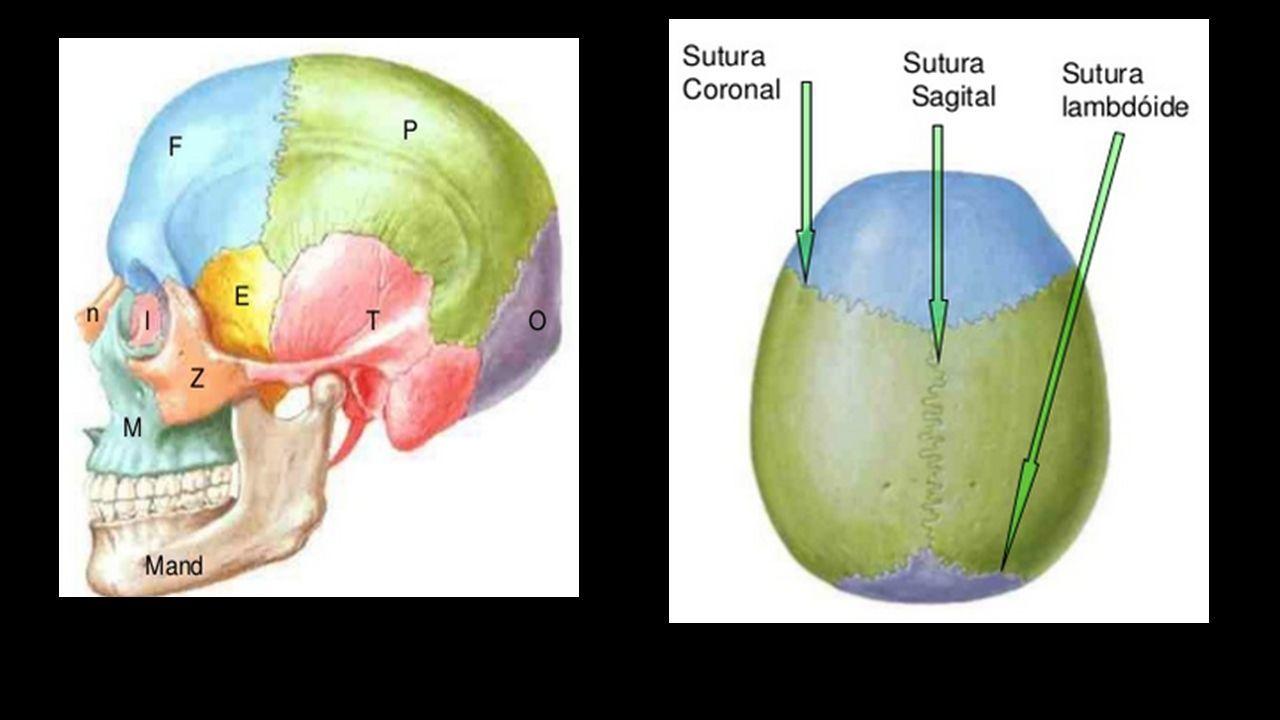 TRAUMATISMO ENCEFALO CRANEANO. Anatomia del craneo: Formado por 8 ...