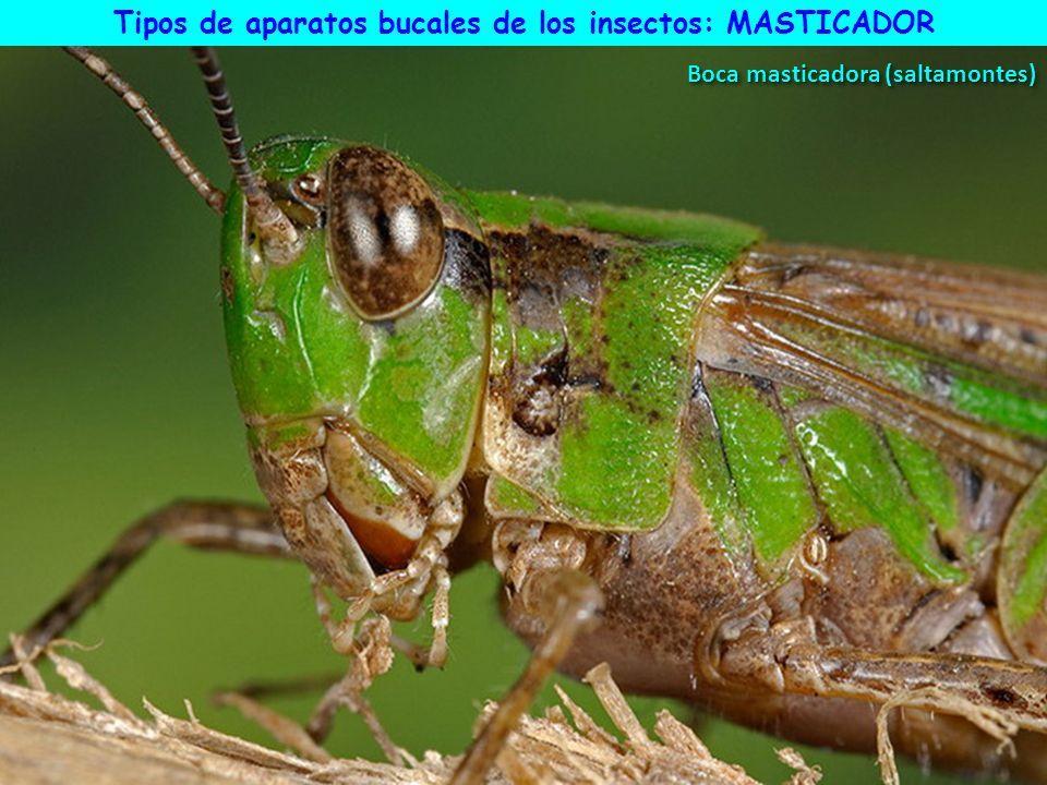 TIPOS DE APARATOS BUCALES DE LOS INSECTOS Ap. masticador 2 ...