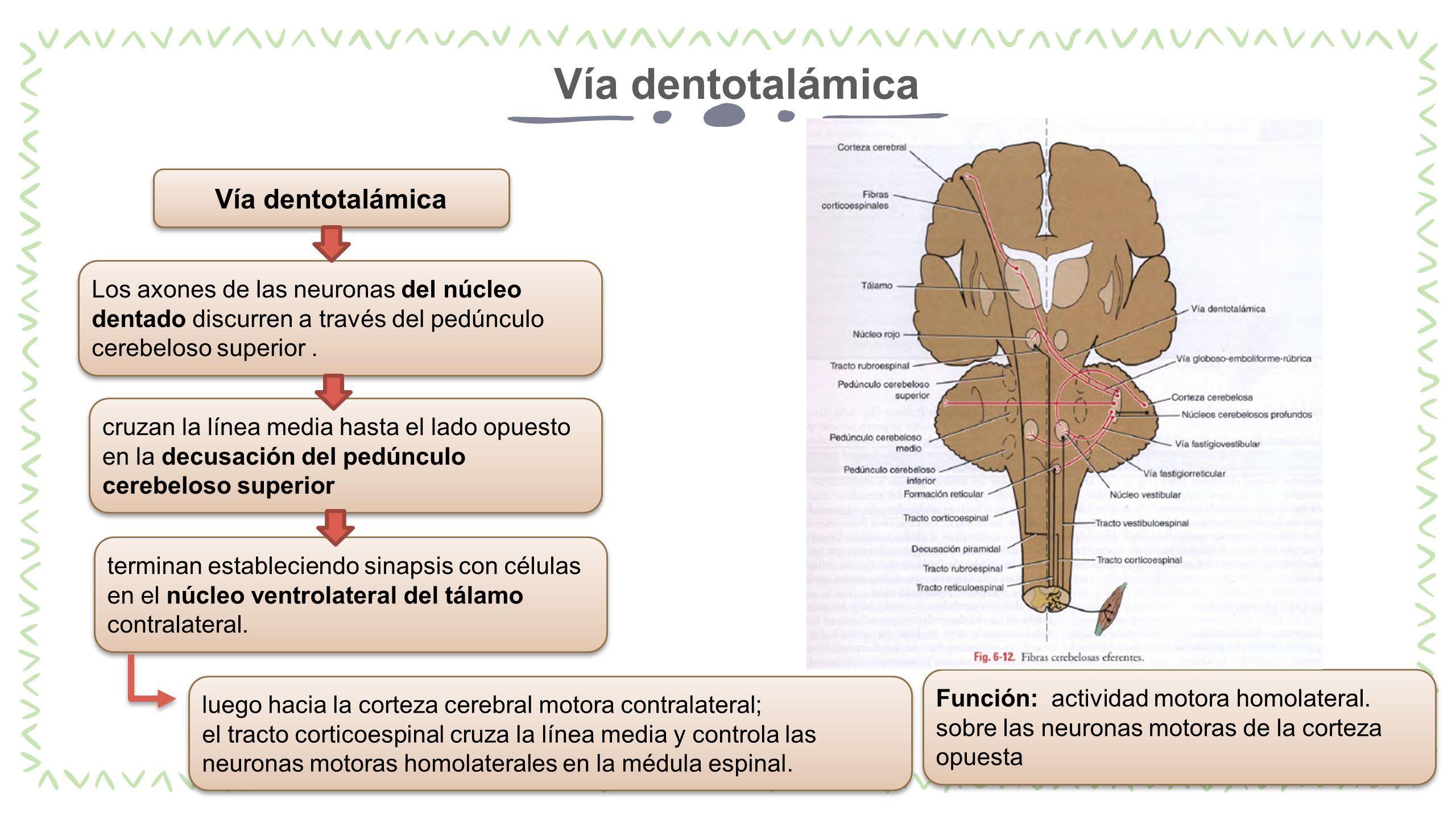 Cerebelo Embriologia, Anatomía, Histologia ✓ Juan Carlos Iribe ...