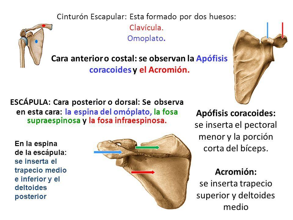 MIEMBRO SUPERIOR. Cinturón Escapular: Esta formado por dos huesos ...