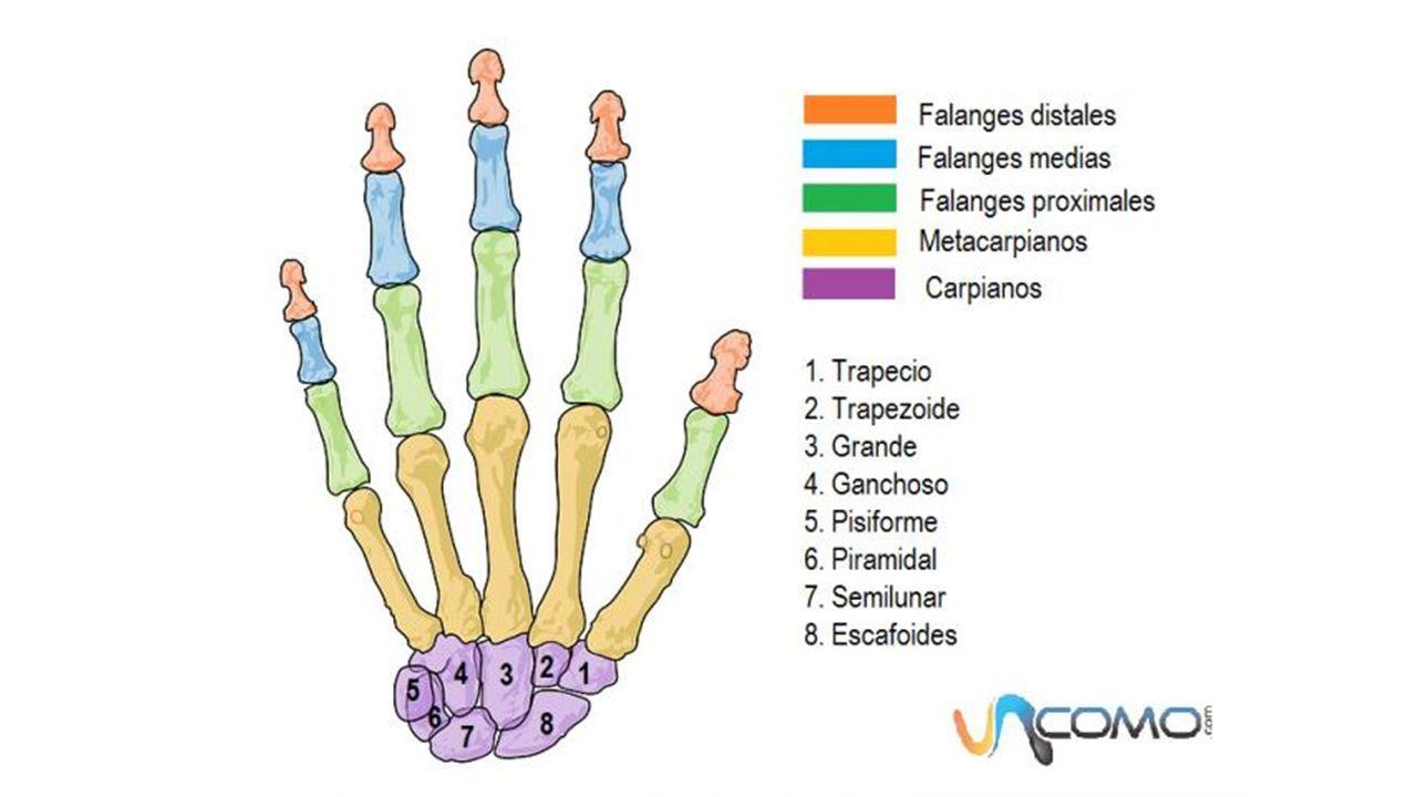 HUESOS DE LA MANO. Son ocho huesos cortos que se disponen en dos ...